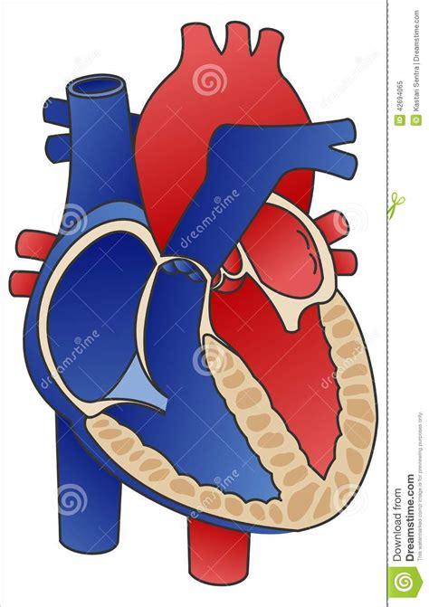 cross section of human heart heart diagram stock vector image of vector