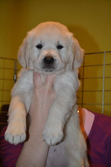golden retriever puppies for sale manchester golden retreiver puppies manchester greater manchester pets4homes