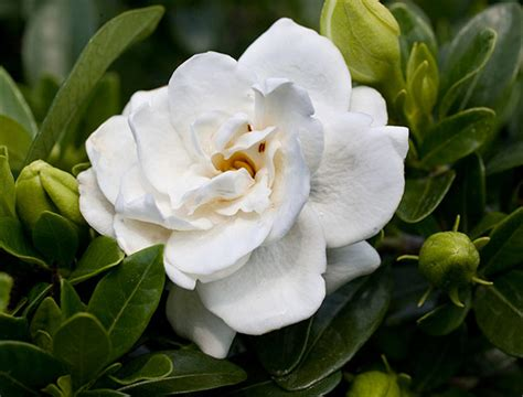 gardenia flower delivery buy gardenia gardenia crown jewel pbr delivery by crocus