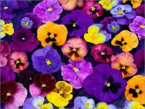 beneath the petals fun facts about pansies and violas the plant farm