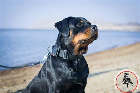 collars for rottweilers purchase rottweiler collar release buckle