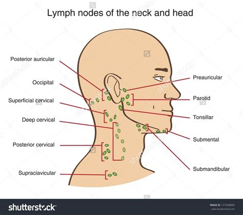 glands in the neck and throat diagram glands diagram anatomy organ