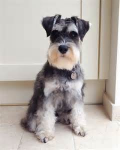 schnauzer hair styles best 25 miniature schnauzer ideas on pinterest