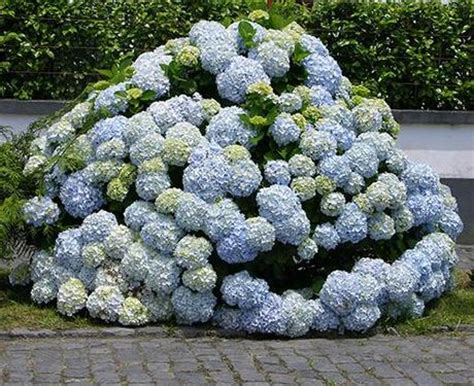 wie trockne ich hortensien hortensien trocknen