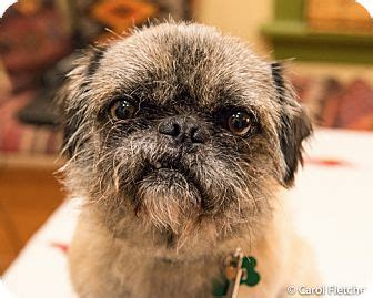 brussels griffon pug mix torrington ct brussels griffon pug mix meet inky a for adoption
