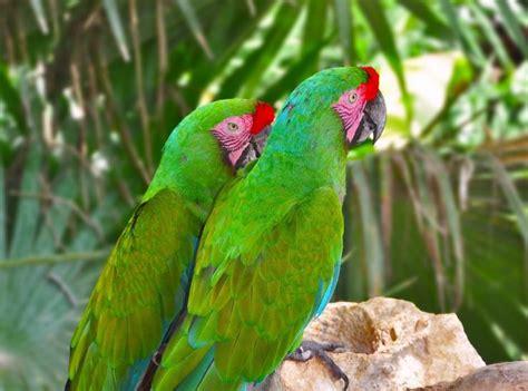 imagenes guacamayas verdes los conservacionistas trabajan para proteger a la gran