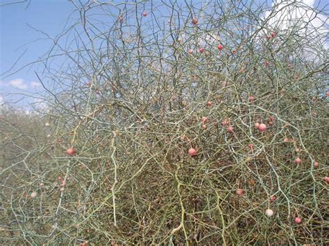 Tropical Tree Plants - capparis decidua images useful tropical plants