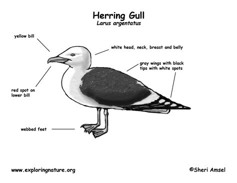 seagull diagram exploring nature educational resource error