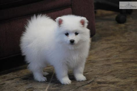 american eskimo puppies american eskimo puppy for sale near provo orem utah 189ab165 5d91