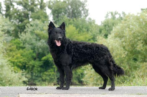 mudi puppies for sale mudi breeders usa breeds picture