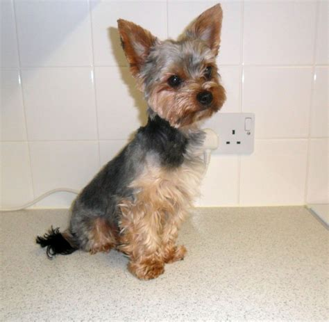 yorkie puppy facts terrier information pictures of terrier puppies pictures