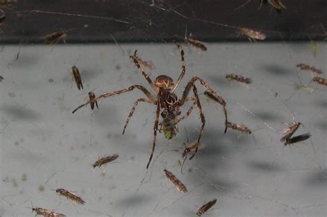 do spiders eat bed bugs file spiders eating 139 jpg wikipedia
