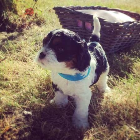 puppies for sale longview wa cavalier king charles spaniel breeder longview washington
