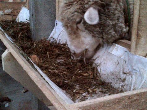 ternak kambing tanpa ngarit tanpa angon pola hcs