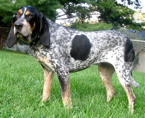 file bluetickcoonhound jpg wikipedia