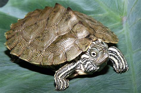 louisiana map turtle cagle s map turtle