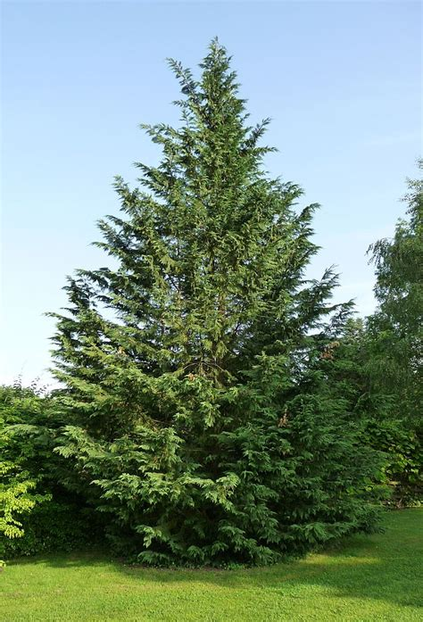 can you trim a christmas tree trimming leyland cypress trees how and when to prune leyland cypress