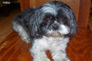shih tzu rescue ny 25 best ideas about shih tzu rescue on boxer quotes caeser