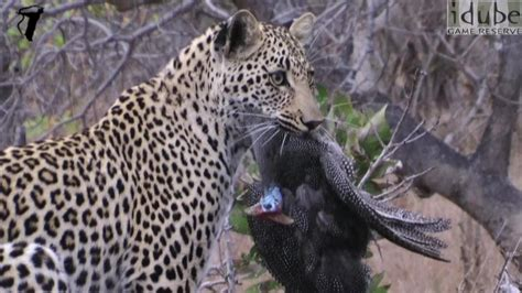 Leopard Bird leopard catches bird hd