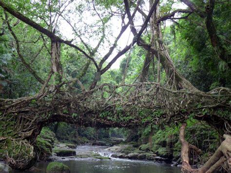living bridges living root bridge in mawlynnong ghumakkar inspiring