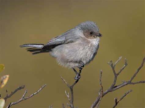 bushtit birds life list pinterest
