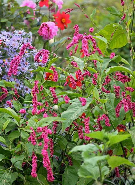 Me The Garden Gate by Polygonum Orientale Quot Me The Garden Gate Quot Buy
