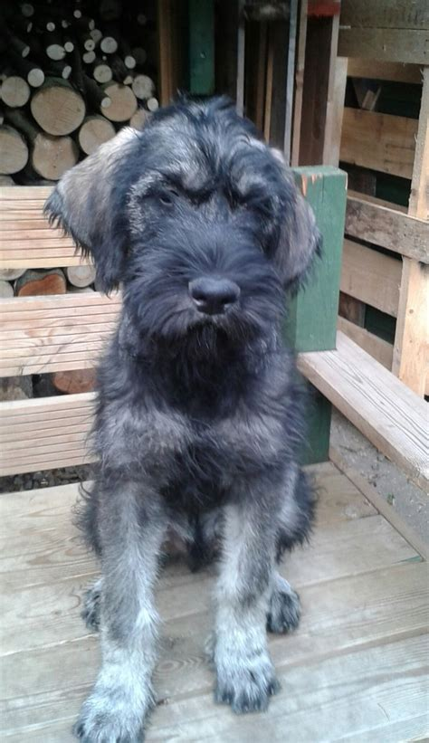 salt and pepper schnauzer puppies for sale pepper and salt schnauzer puppies derby derbyshire pets4homes