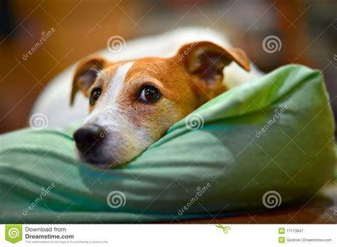 Kitchen Design Tool Free parson jack russell terrier resting on his bed royalty