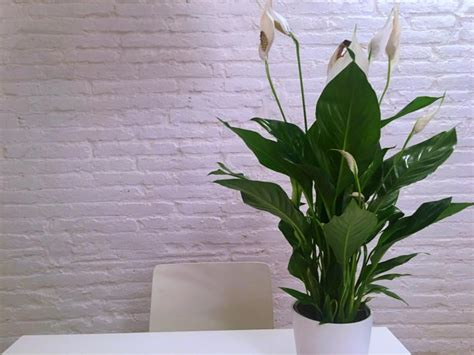 plant health can this peace lily be saved gardening peace lily care how to grow peace lily plants the old