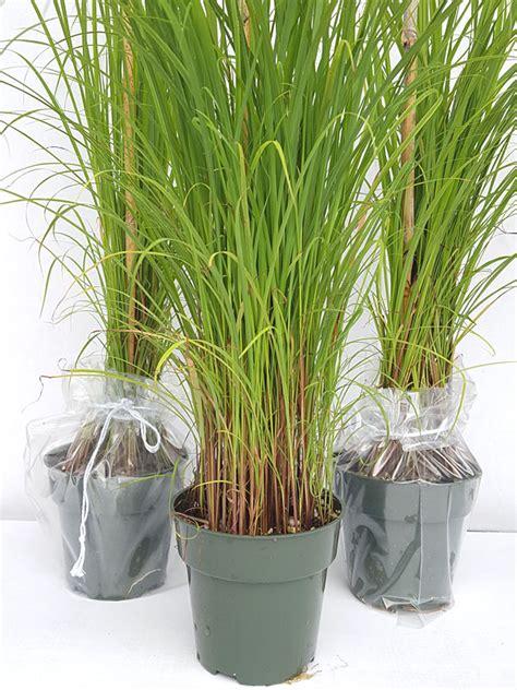xl east asian lemon grass pots cymbopogon flexuosus
