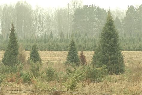 christmas trees in northern mi northern michigan tree farms stay busy with tree shortage