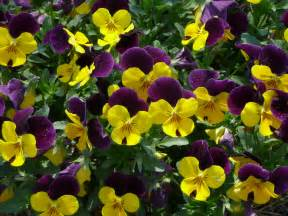 viola color sorbet violas louisiana plant fall 2012 lsu