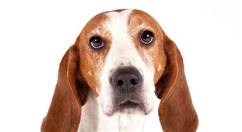 walker hound image gallery treeing walker