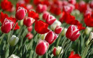 Cheap Flowers Delivery Flowers Wallpapers Red Tulips Flowers Wallpapers