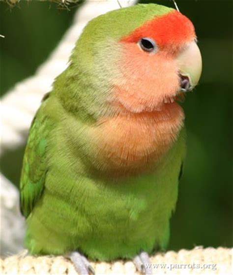 peach faced lovebird world parrot trust