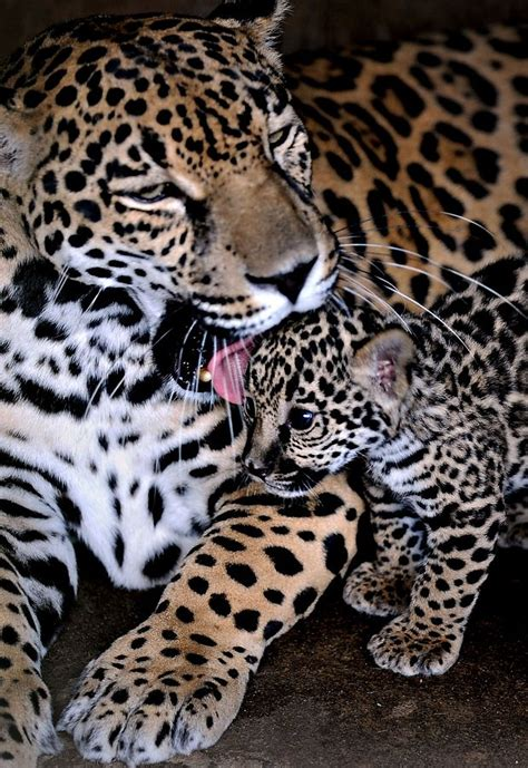 jaguar and kitten i the big cats and the