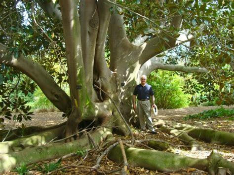 Moreton Bay Figs At South Coast Botanic Gardens In Palos South Bay Botanic Garden