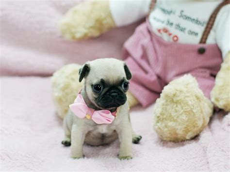 teacup pugs for free fawn teacup pug puppies for sale sydney buy and sell australian classifieds