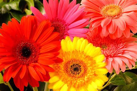 bunga gerberahebras  bunga hias alam indah