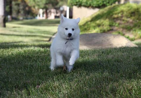 american eskimo puppy for sale american eskimo puppies for sale akc puppyfinder