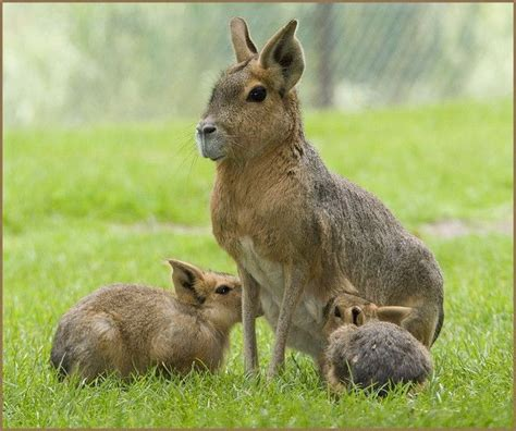 like a bunny patagonian cavy looks like a cross between a capybara a