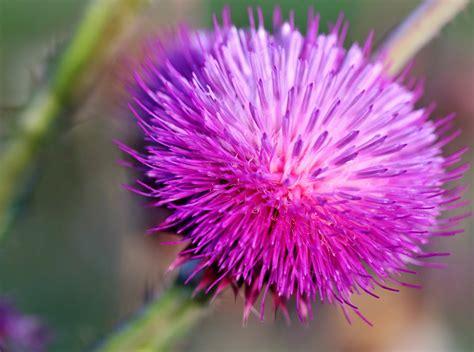Floweri Puff in pieces wordless wednesday purple puff flowers