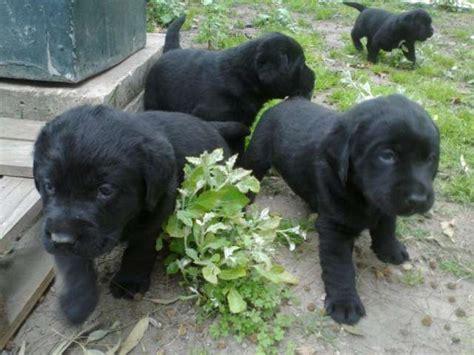 imagenes labrador negro cachorros labrador retriever negro imagui