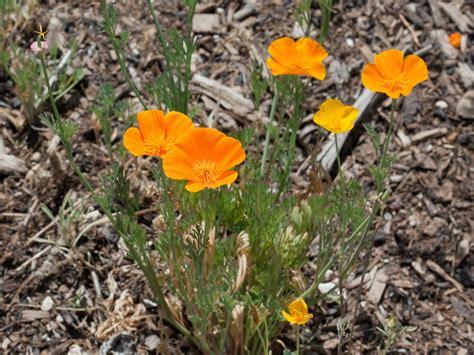 california poppy california poppy california state flower public domain