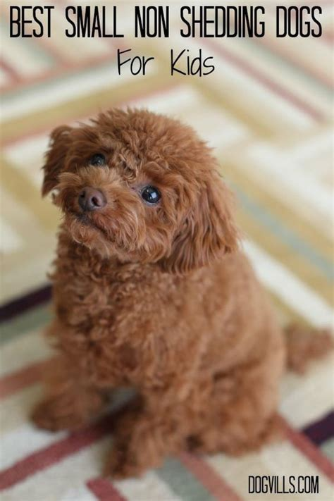Non Shedding Small Breed Dogs by Best Small Non Shedding Dogs For Allergies Kid And Families