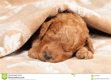 puppy second poodle puppy second week sleep stock photography image 25440392