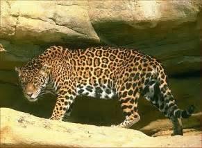 Jaguars Tx 24hourcfire Quot Jaguars In California Quot By