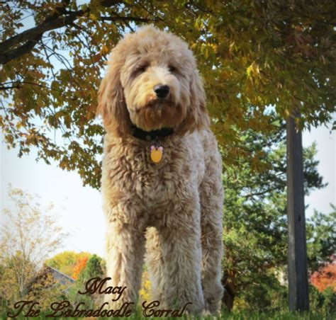 labradoodle puppies for sale in wi chicago labradoodle breeders the labradoodle corral wisconsin