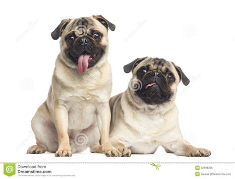 pug tongue sticking out two pugs sticking the tongue out isolated royalty free stock image image 32491226