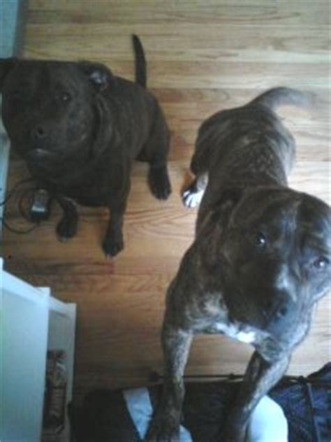 tiger stripe pitbull puppies for sale tiger stripe brindle bully pitbull puppies coming soon for sale adoption from ferndale